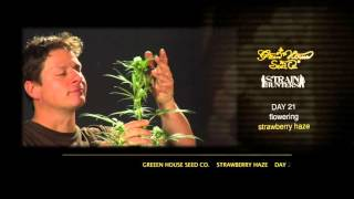 Arjan's Strawberry Haze - Green House Grow Sessions