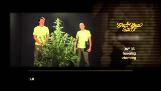 Chemdog - Green House Grow Sessions