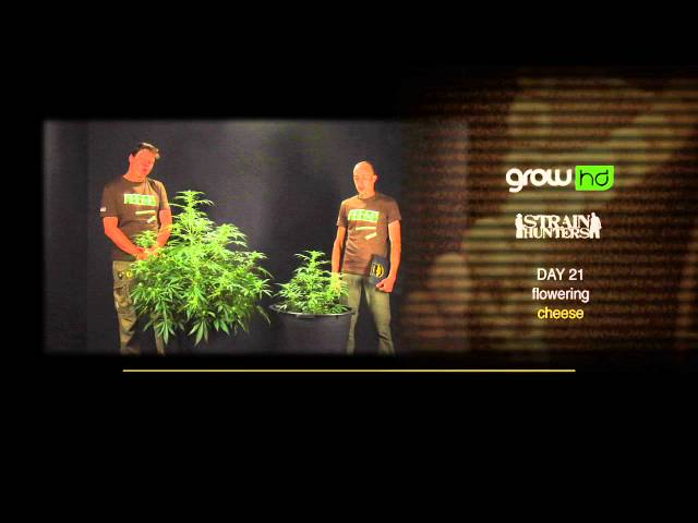 GH Cheese - Green House Grow Sessions