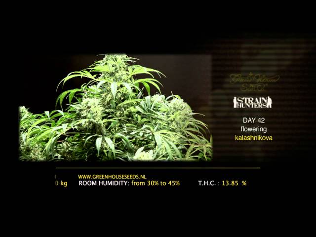 Kalashnikova - Green House Grow Sessions
