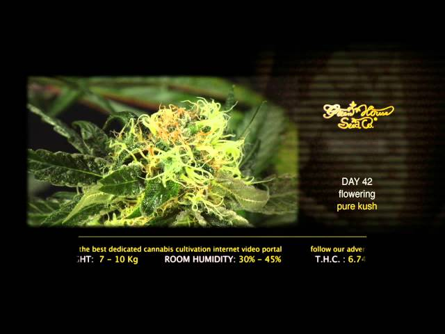 Pure Kush - Green House Grow Sessions