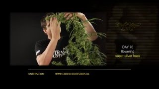 Super Silver Haze - Green House Grow Sessions
