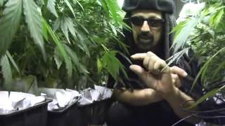 Jorge Cervantes - Ultimate Grow [DVD 2] (EN)