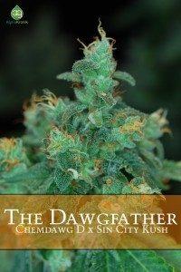 dawgfather regulaer
