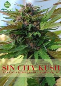 sin-city-kush-regular