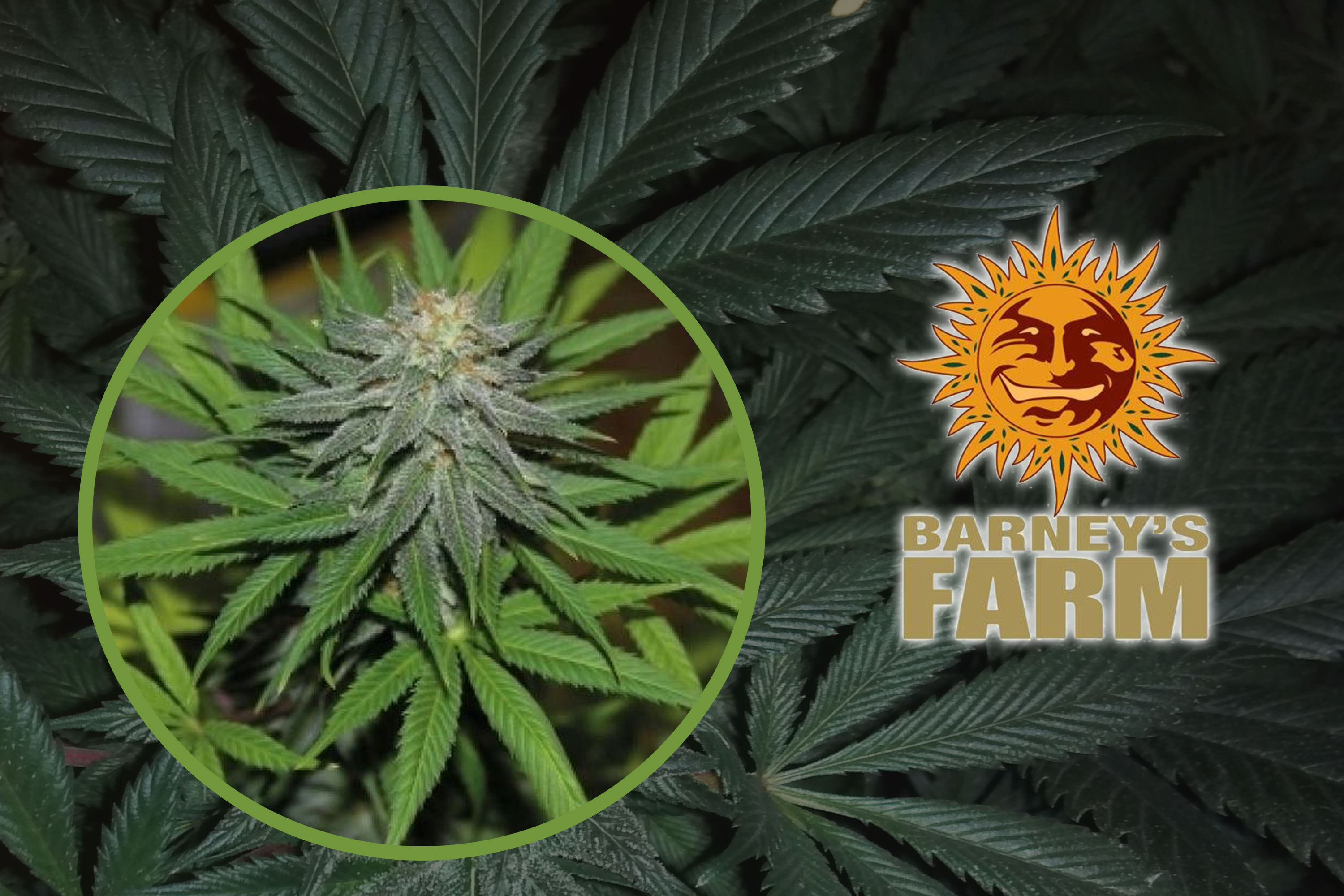 Pineapple Express Auto Feminisiert By Barneys Farm Hanf TV Deine Plattform Fur Cannabis